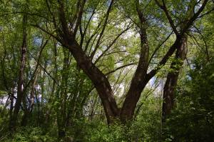 Old growth trees in the Silver Maple Forest could be clear cut by a developer